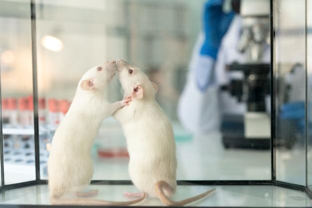 Primo piano di due topi bianchi di laboratorio che si annusano a vicenda nella scatola vetrosa sulla scrivania dello scienziato farmaceutico