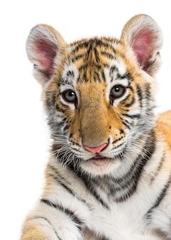 Primo piano su un cucciolo di tigre di due mesi contro la superficie bianca