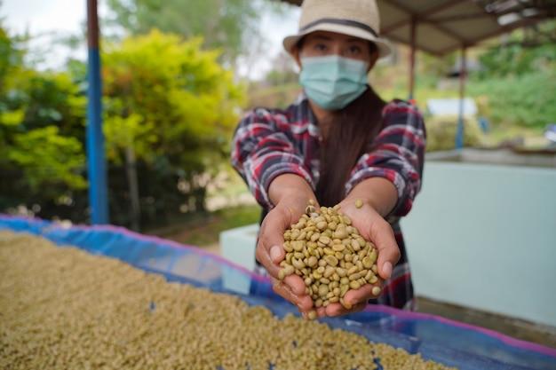 Vista ravvicinata dei chicchi di caffè arabica che sono stati selezionati finiti nelle mani di un contadino piantato in quota nel distretto di mae wang, provincia di chiang mai.