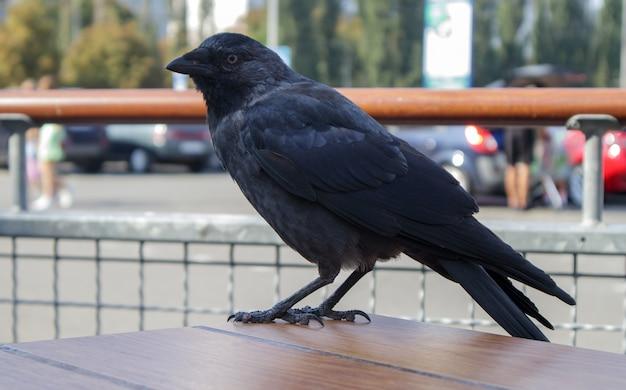 Vista ravvicinata di un uccello nero, un corvo in piedi su un tavolo di legno di un fast food di strada, in attesa e in cerca di cibo. raven è seduto sul recinto.