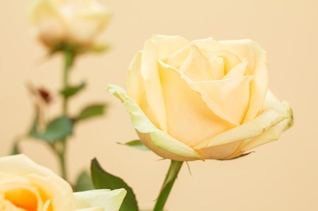 Vista ravvicinata di un bocciolo di una rosa gialla con lo sfondo sfocato. profondità di campo.
