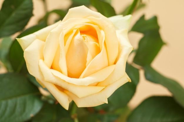Vista ravvicinata del bocciolo di una rosa gialla con foglie sfocate sullo sfondo. profondità di campo.