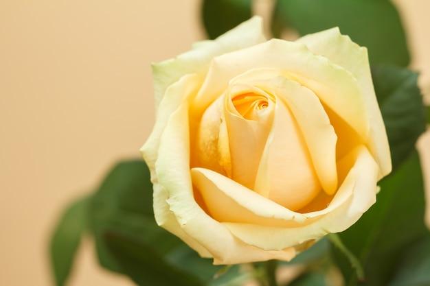 Vista ravvicinata di un bocciolo di una rosa gialla con foglie sfocate in superficie