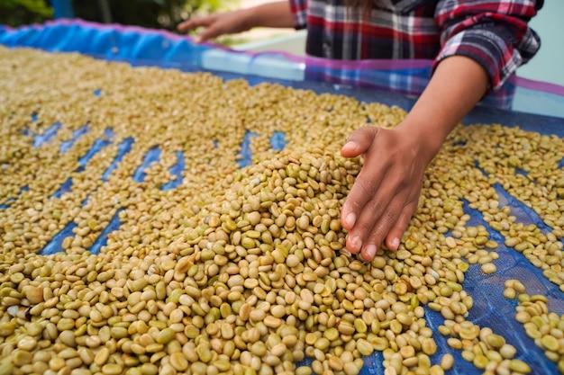 Una vista ravvicinata di un contadino che separa la corteccia dai chicchi di caffè arabica coltivati ad alta quota nel distretto di mae wang, provincia di chiang mai.