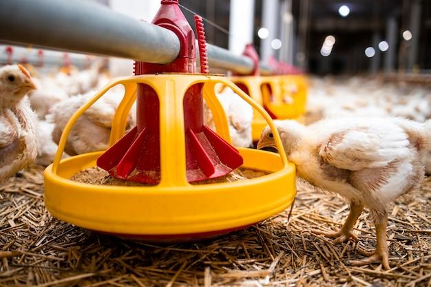 Vista ravvicinata del pollo a crescita rapida che mangia cibo proteico dall'alimentatore automatizzato in un moderno allevamento di pollame.