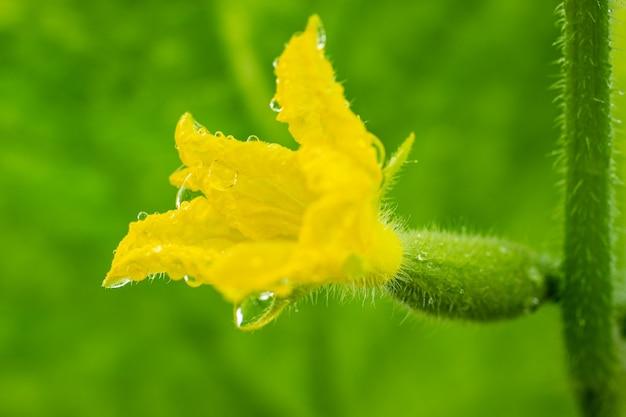 Vista ravvicinata del piccolo cetriolo in fiore che cresce in serra in un'azienda agricola ecologica. macrofotografia, verdure di freschezza naturale.