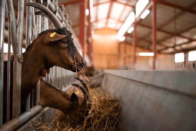 Chiuda sulla vista dell'animale domestico della capra che mangia alimento alla fattoria.