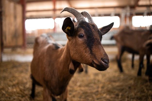 Vista ravvicinata di capra animale domestico presso la fattoria.