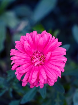 Vista ravvicinata di una testa di un fiore di aster sullo sfondo naturale sfocato.