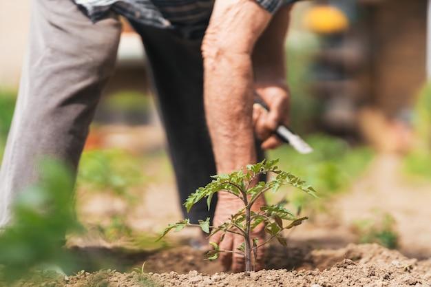 Vista ravvicinata dell'uomo che si prende cura della piccola pianta di pomodoro, del concetto di crescita e della vita. messa a fuoco selettiva.