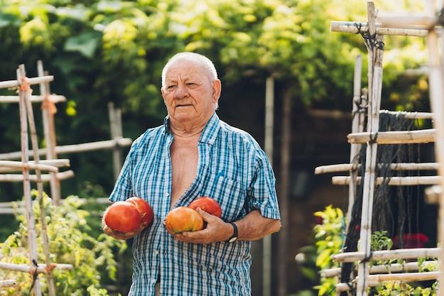 Vista ravvicinata di un uomo anziano che tiene grandi pomodori appena raccolti in un orto. senior uomo in piedi tenendo grandi pomodori.