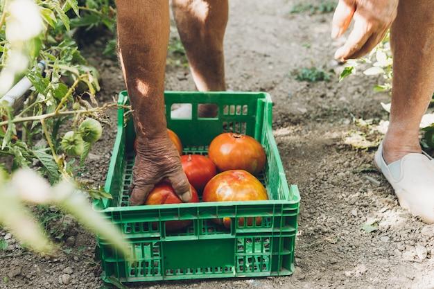 Vista ravvicinata di un uomo più anziano che mette grandi pomodori freschi appena raccolti. grandi pomodori freschi in una scatola di plastica verde sul pavimento del giardino.
