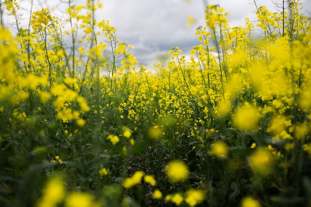 Vista ravvicinata del campo di fiori di colza in una giornata piovosa con cielo nuvoloso. sfondo naturale.