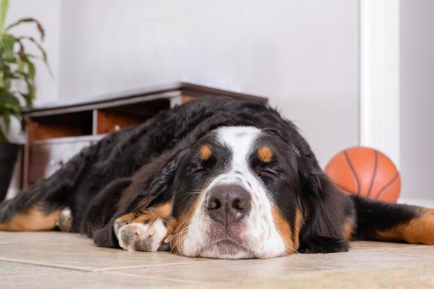 Vista ravvicinata a dormire bovaro del bernese sdraiato su un pavimento bianco in casa. naso macro di cane.