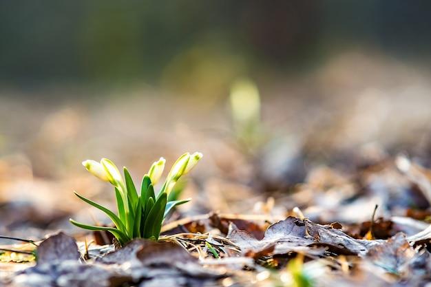 Vista ravvicinata di piccoli fiori freschi bucaneve che crescono tra le foglie secche nella foresta