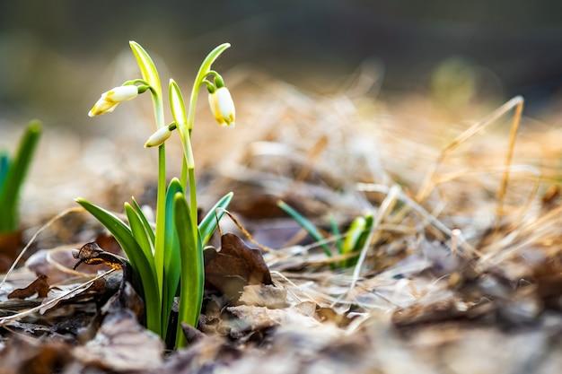 Vista ravvicinata di piccoli bucaneve freschi fiori che crescono tra le foglie secche nella foresta.