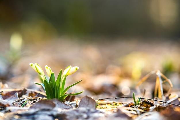 Chiuda sulla vista di piccola crescita di fiori fresca di bucaneve fra le foglie asciutte in foresta.
