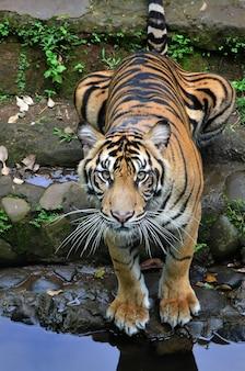 Vista ravvicinata di una tigre di sumatra