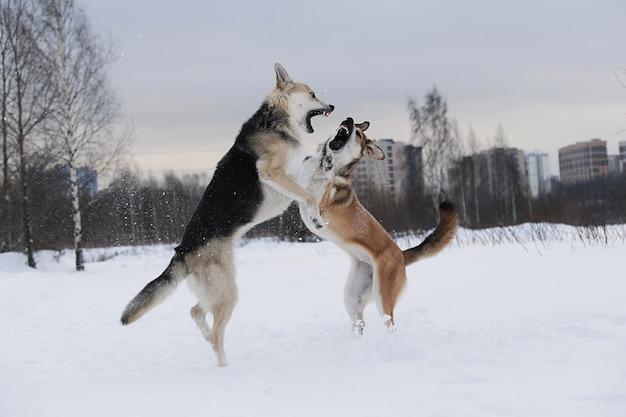Vista ravvicinata di due grandi cani di razza mista che litigano per uno sfondo di neve snow