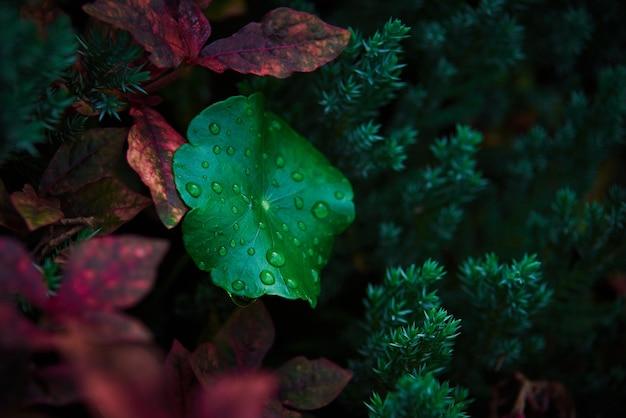 Vista ravvicinata di gocce d'acqua sulla foglia verde della centella asiatica