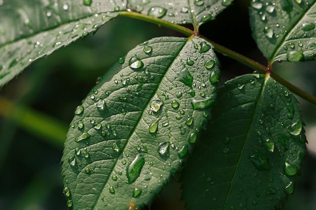 Vista ravvicinata delle gocce d'acqua sulle foglie verdi dopo la pioggia, il fuoco selettivo e lo sfondo sfocato.