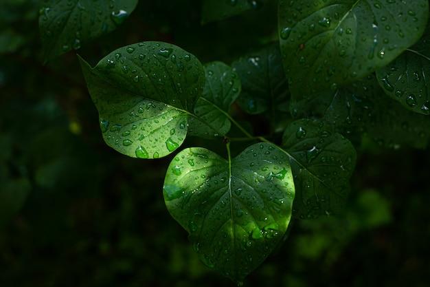 Vista ravvicinata di una foglia verde bagnata di un albero di lillà dopo una pioggia fresca di mattina d'estate summer