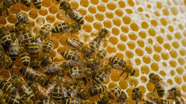 Primo piano vista delle api di lavoro su cellule di miele. api di lavoro a nido d'ape. api sui favi