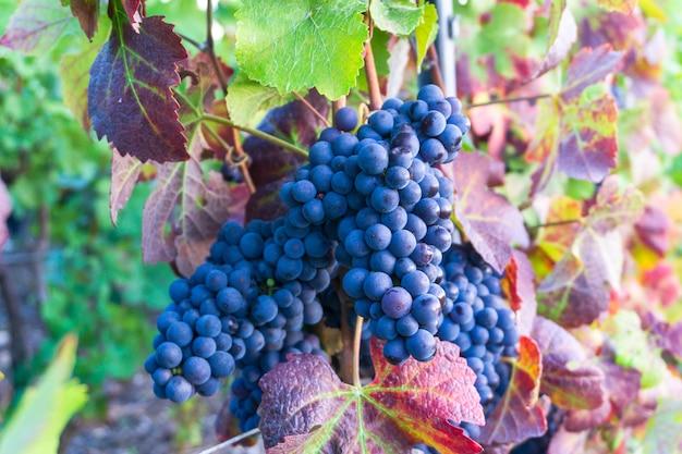 Chiuda in su uva da vino nei vigneti di champagne a montagne de reims, reims, francia