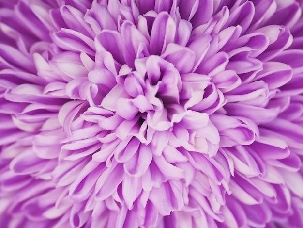 Close up viola crisantemo fiore. modello di flora viola per sfondo primaverile