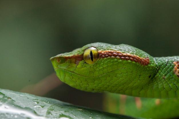 Primo piano di wagler's pit viper