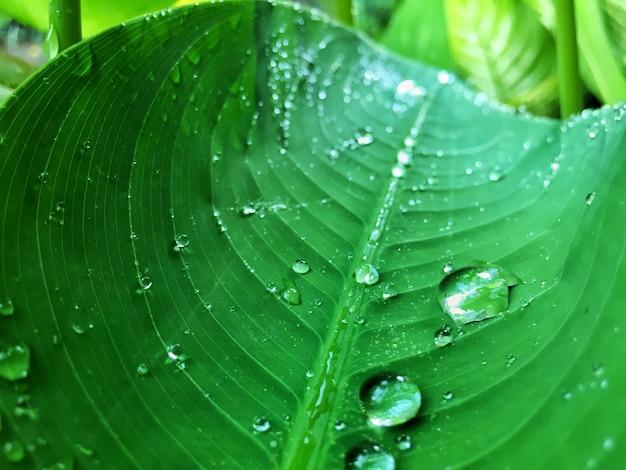 Chiuda in su delle gocce dell'acqua sul foglio verde con lo spazio della copia.