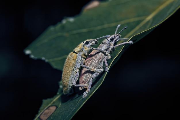 Primo piano del tonchio su una foglia. un insetto coleottero giallo con il nome latino curculionoidea.