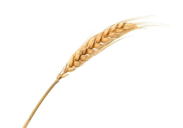 Spighette di grano ravvicinate isolate su superficie bianca