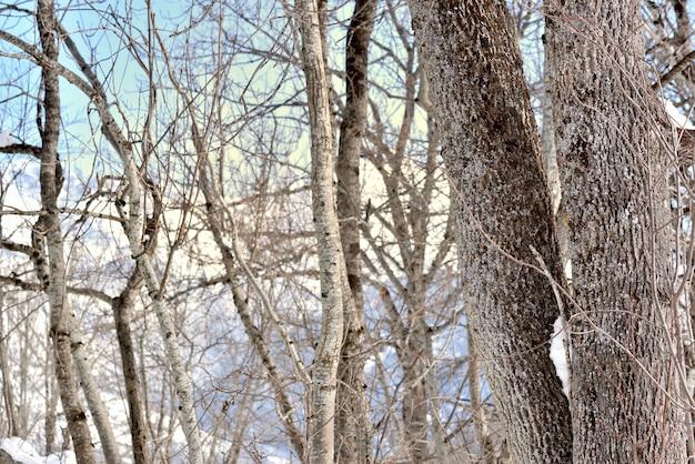Primo piano sulla corteccia bianca del tronco d'albero su sfondo di montagna innevata