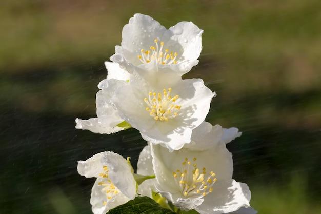 Primo piano sui fiori di gelsomino bianco