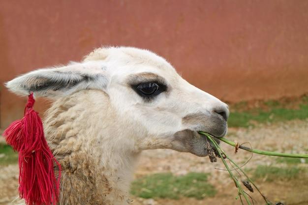 Primo piano di un bianco lama che mangia al villaggio di chinchero, regione di urubamba, cusco, perù