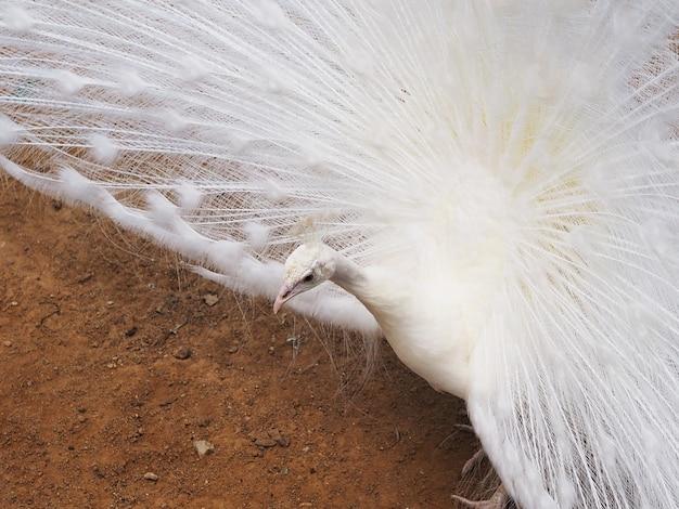 Chiuda sul pavone maschio bianco che mostra la sua piuma di coda per accoppiarsi.