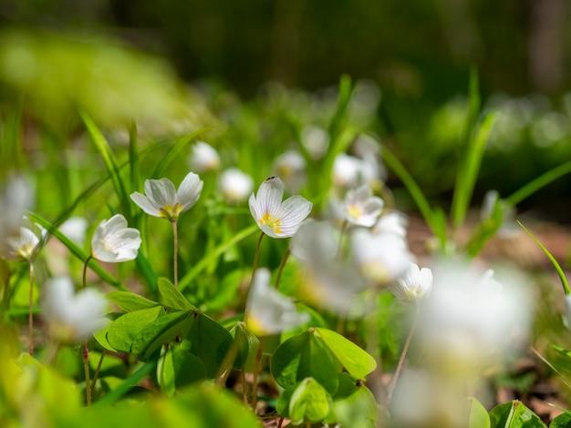 Primo piano di un fiore bianco oxalis che fiorisce in primavera nel parco. foglie verdi, sfondo sfocato. messa a fuoco selettiva