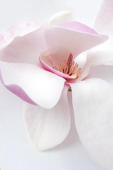 Primo piano del fiore di magnolia bianco e rosa su sfondo bianco white