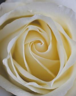Primo piano di petali di rosa bianca. messa a fuoco selettiva. sfondo di fiori