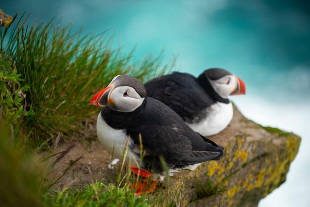 Primo piano di uccelli marini pulcinella di mare selvatici