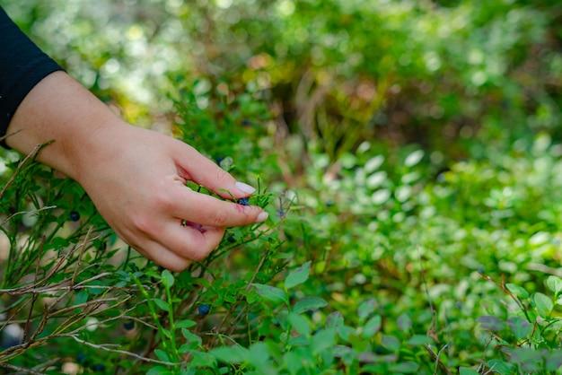 Chiuda in su delle mani di donna che raccolgono more mature del ramo nella foresta.