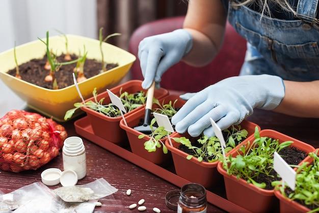 Primo piano delle mani della donna in tuta in denim in cucina prendersi cura delle piantine di erbe