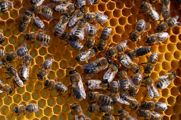 Primo piano delle api di lavoro sui favi