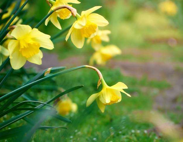 Primo piano dei fiori gialli del narciso.