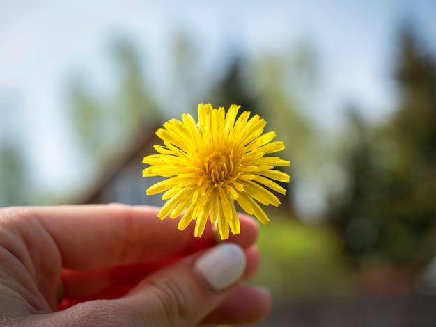Primo piano di un dente di leone giallo in mano. sfondo sfocato. l'arrivo della primavera e la comparsa dei fiori, la primavera