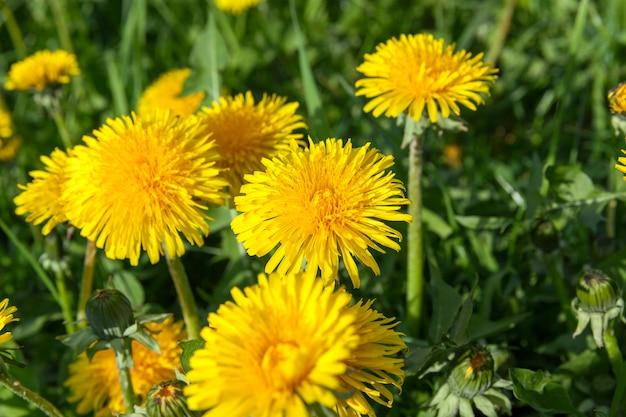 Primo piano di denti di leone gialli in primavera, profondità di campo
