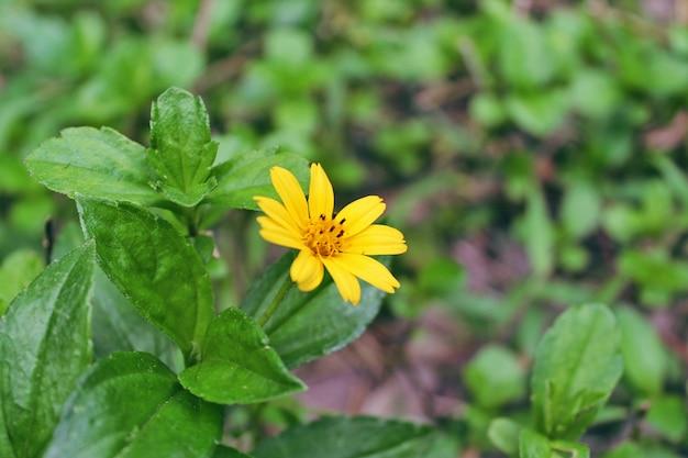 Primo piano, il fiore giallo della foresta sta sbocciando