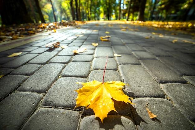 Chiuda su della foglia di acero gialla che mette sul marciapiede pedonale nel parco di autunno