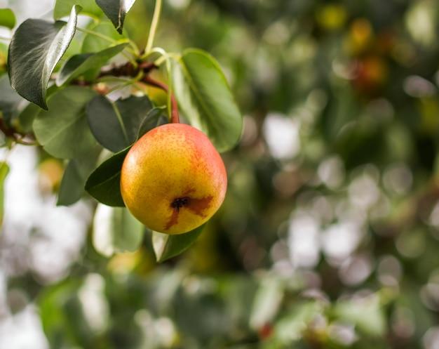 Primo piano di una pera gialla appesa a un albero contro il giardino.